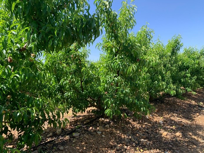 Nectarinos tratados por el equipo de Desarrollo de SIPCAM Iberia como prueba de la estrategia de nutrición de cítricos y frutales de la compañía