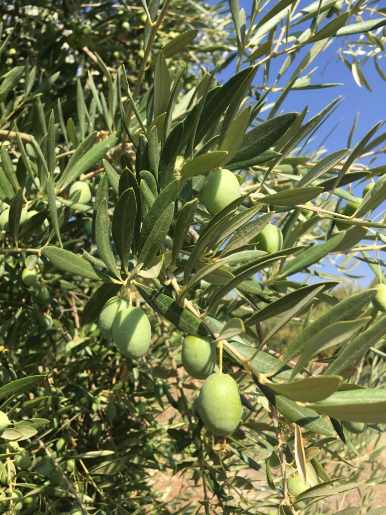 como quitar las malas hierbas del olivar