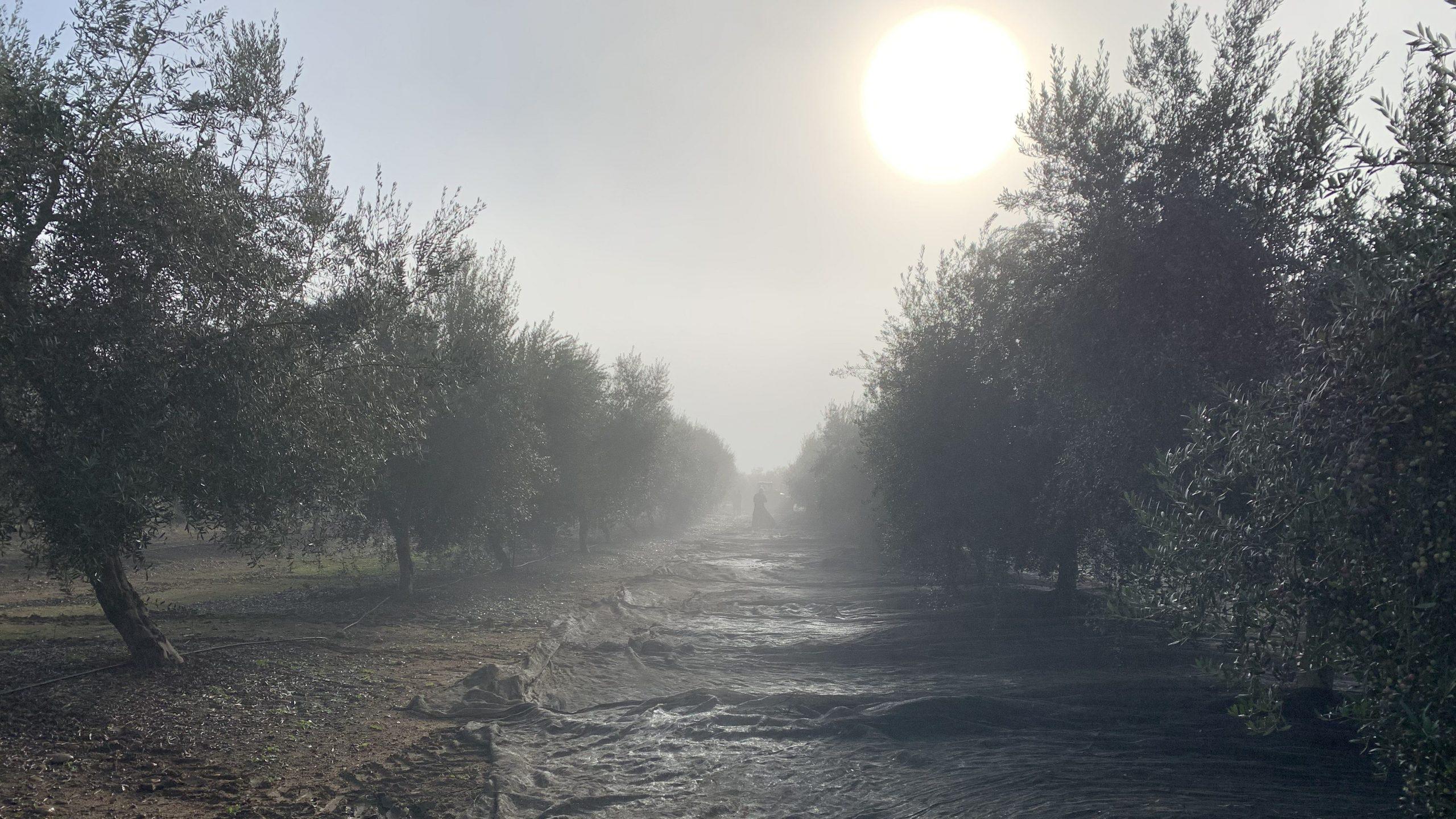 Recolección de la cosecha tras el exitoso control de malas hierbas en el olivar