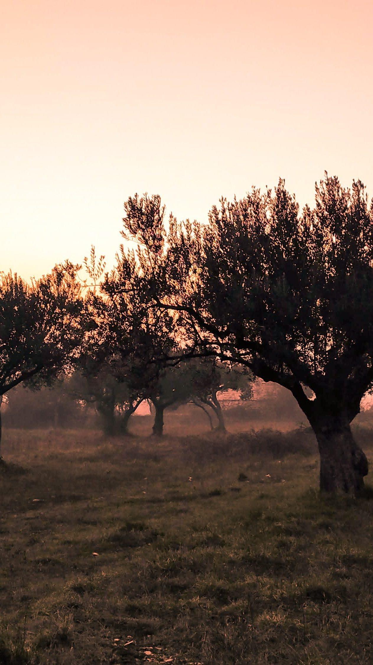 Control de malas hierbas en el olivar aplicando herbicidas desecantes como Volcan